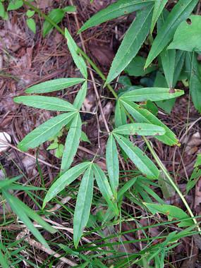 药用植物竹叶鸡爪茶