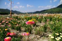 争奇斗艳的七彩菊