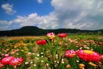 姿态各异的七彩菊