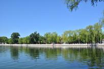 北京后海湖岸杨柳