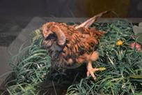 标本长尾林鸮