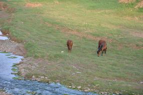 草地上吃草的马