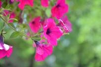 粉红的喇叭花