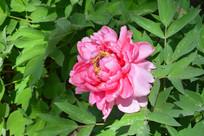 粉色牡丹花特写