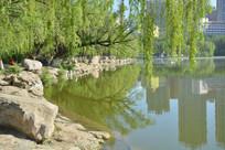 呼和浩特青城公园湖岸杨柳