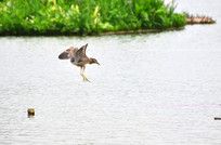 湖中飞翔的鹭鸟