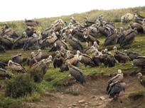 天葬台的秃鹫群