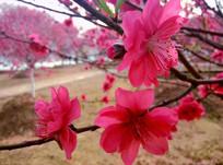 午后娇嫩的桃花