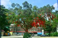 挂满红丝带的大树