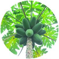 绿色的木瓜