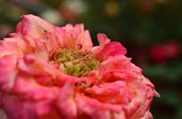 玫瑰花花蕊特写