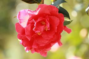 绚丽多彩的大红山茶花