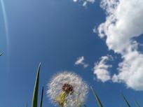 白云下的蒲公英种子
