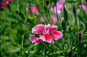 红白渐变的石竹花