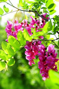 漂亮的紫槐花