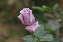 浅紫色玫瑰花苞
