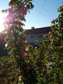 弯弯的一枝刺玫瑰花