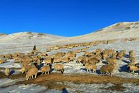 雪原牧场羊群