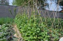 一菜畦整齐的豆角架