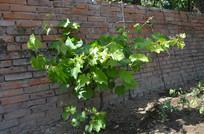 一颗墙根下的葡萄树