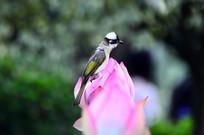站立在荷花花骨朵上的小鸟