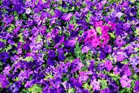 成片的紫色喇叭花