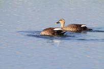 低头钻水的野鸭
