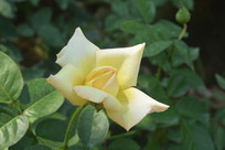 黄玫瑰花瓣