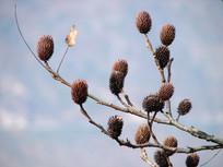 化香树褐色的果序