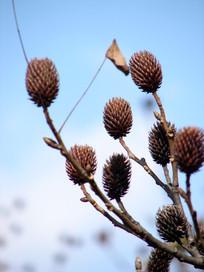 蓝天下的化香树果序