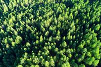 绿色松林 航拍
