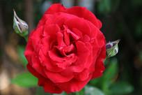 盛开的红月季花