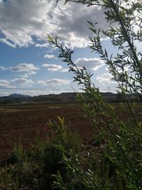 田地里的柳枝图片