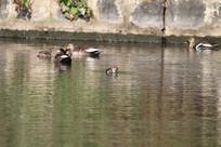 一群梳理羽毛的野鸭