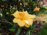重瓣朱槿花拍摄图