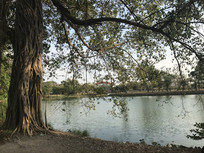 河边的大树