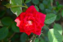 红色的玫瑰花