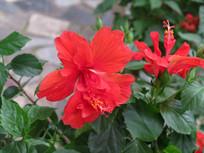 红色重瓣朱槿花朵