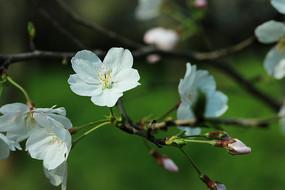 近景的樱花