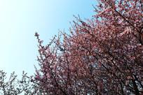 理工大美丽的红色樱花