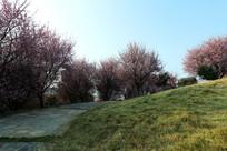 理工大山坡的樱花