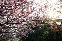 理工大盛开的樱花