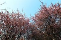理工大樱园的春天