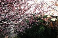 满树的樱花