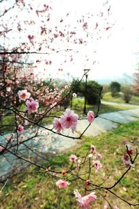 逆光下的樱花