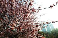 全开的樱花