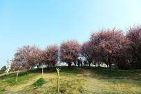 山坡上盛开的樱花