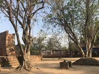 泰国寺庙的树
