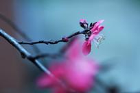桃花的花蕊