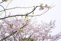 武汉大学里的樱花